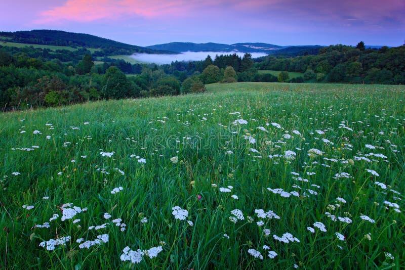 有白花和平衡的桃红色天空开花的草甸在日落,捷克共和国期间的漂泊Moravian高地 免版税库存图片