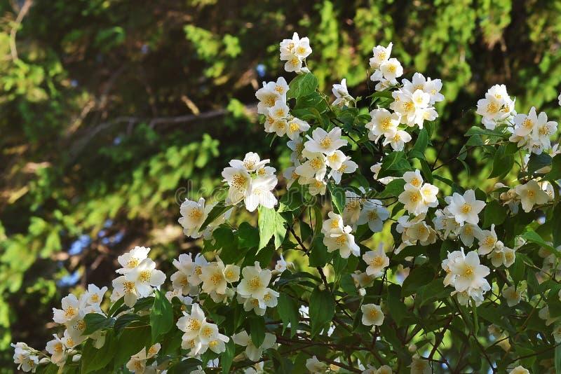 有白花的布什 库存图片