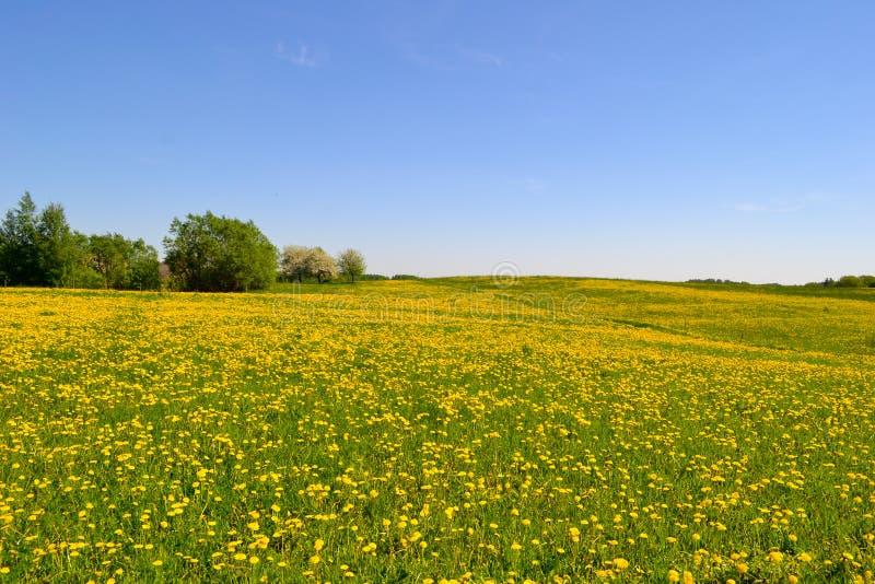 有的草甸许多蒲公英 免版税库存图片