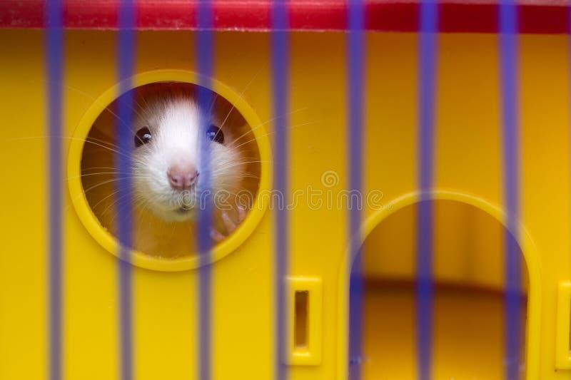 有看从明亮的黄色笼子的发光的眼睛的滑稽的年轻白和灰色温驯的好奇老鼠仓鼠婴孩通过酒吧 ?? 库存照片