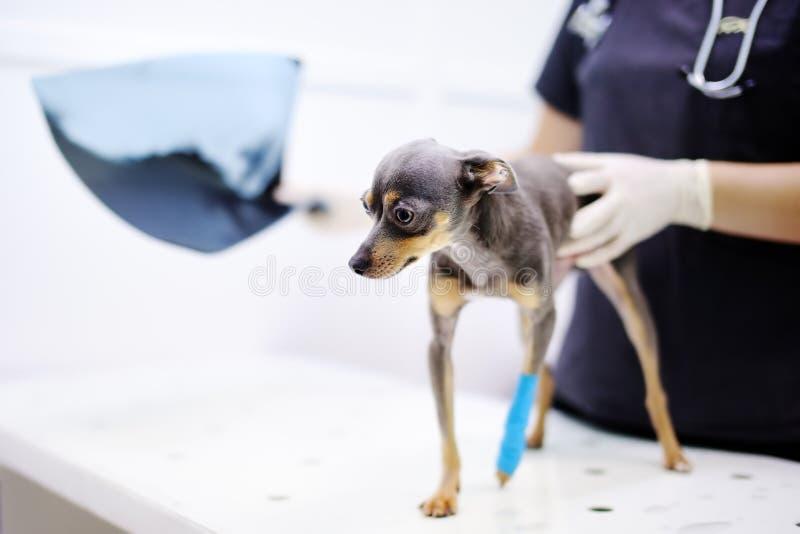 有看X-射线的狗的女性兽医医生在兽医诊所的考试期间 免版税库存照片