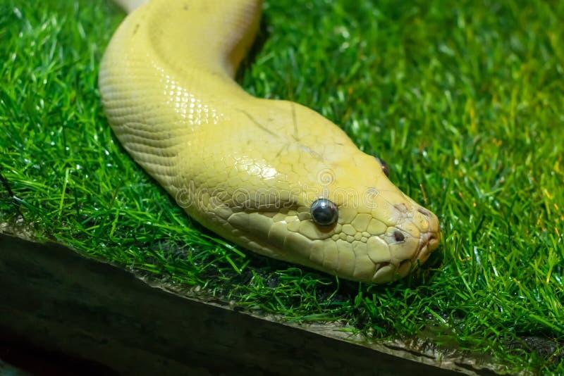 有眼睛的蛇头在绿色草坪 库存照片