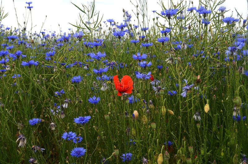 有矢车菊和鸦片的草甸 库存照片