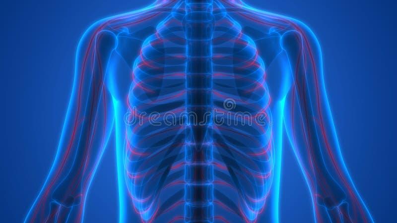 有神经系统的人的骨骼 向量例证