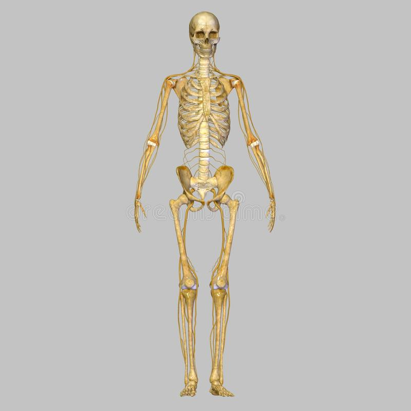 有神经的骨骼 库存例证