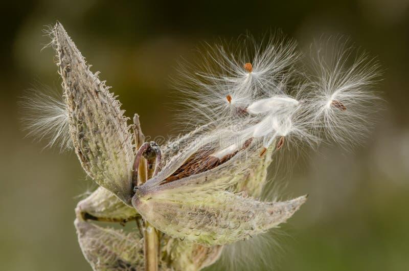 有种子的乳草植物 免版税库存图片