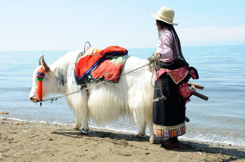 有空白牦牛的西藏妇女 免版税库存图片