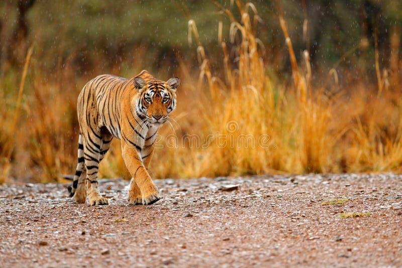 有第一雨的,野生动物在自然栖所, Ranthambore,印度印地安老虎女性 大猫,危险的动物 结尾的干燥 免版税图库摄影