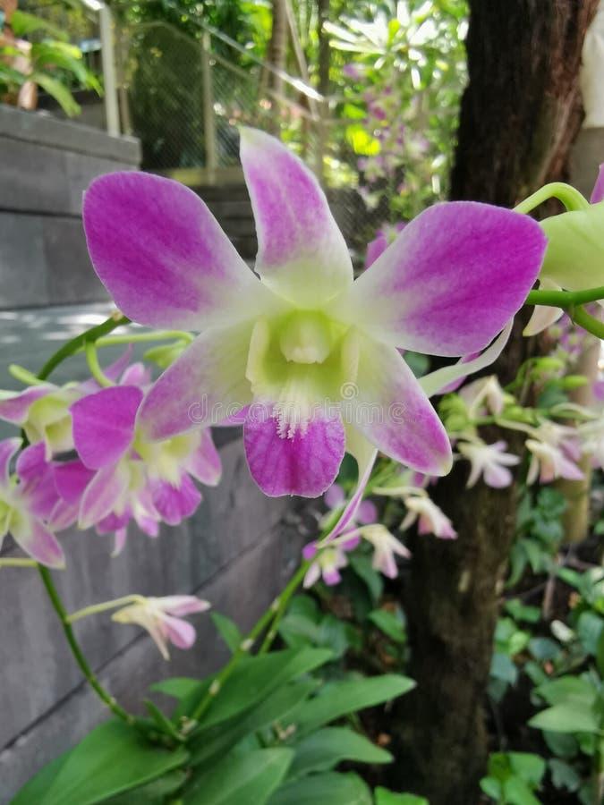 有紫色瓣的兰花植物 免版税库存照片