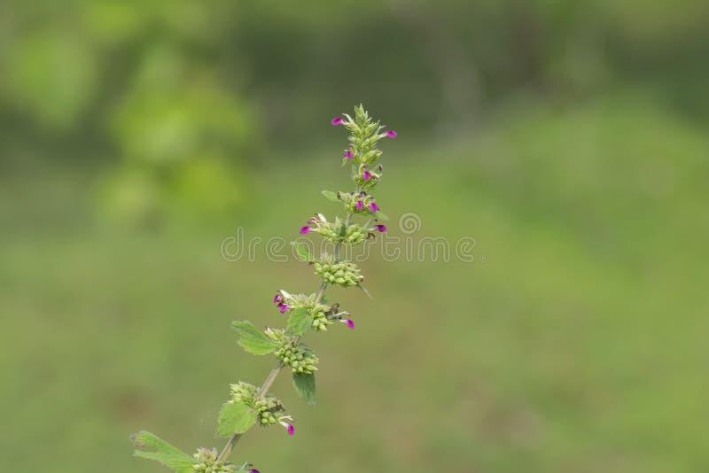 有紫色花的野生森林厂 库存图片