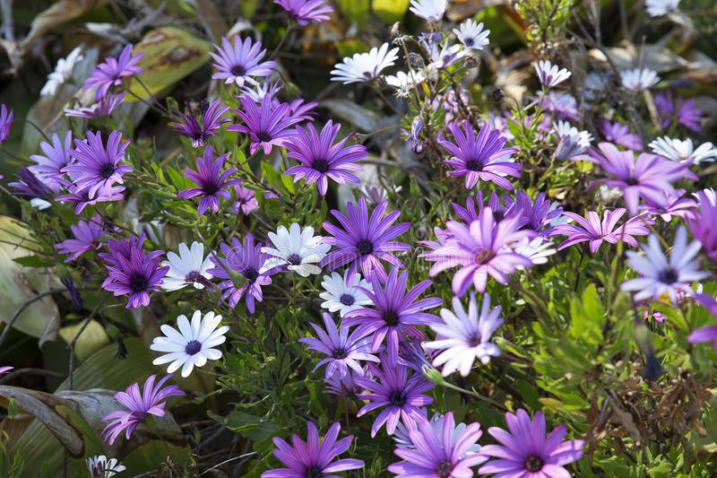 有紫色非洲雏菊的Ecklonis地中海庭院 免版税库存照片