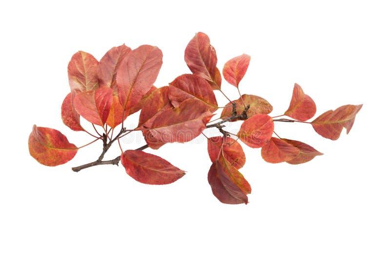 有红色叶子的秋天枝杈 免版税库存图片