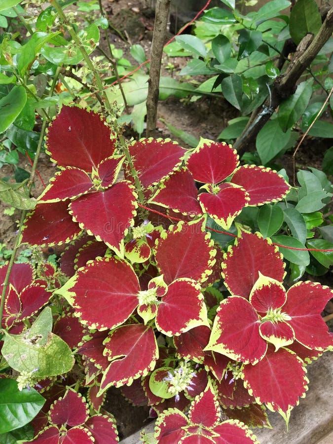 有红色叶子的美丽的植物在庭院里 免版税库存图片