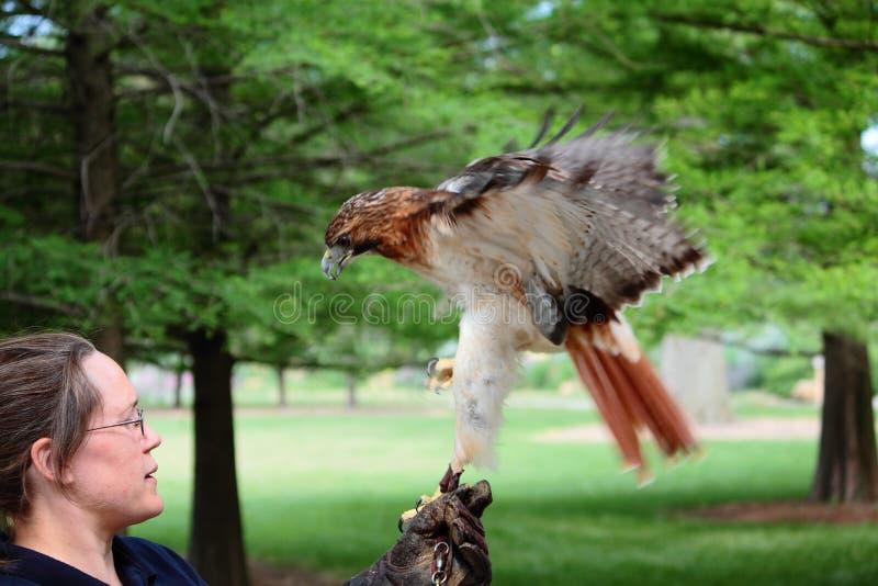 有红色尾巴鹰的动物园管理人 库存图片
