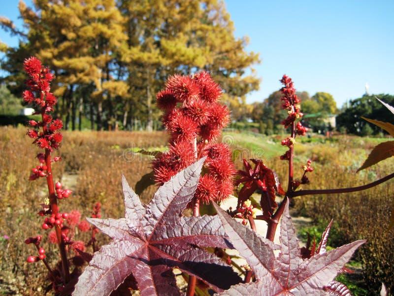 有红色果树栽培的美丽的高园林植物铸工在一个植物园里 免版税库存图片