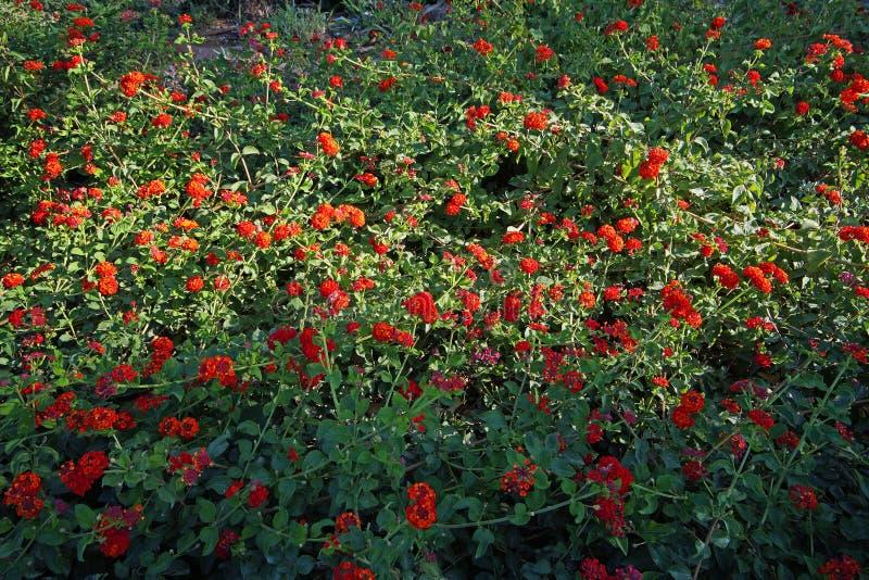 有红色花的树篱植物 免版税图库摄影