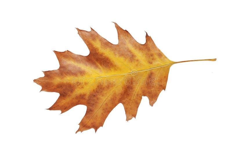 有红色边界的黄色叶子从庭院秋天被隔绝的秋天树 免版税图库摄影
