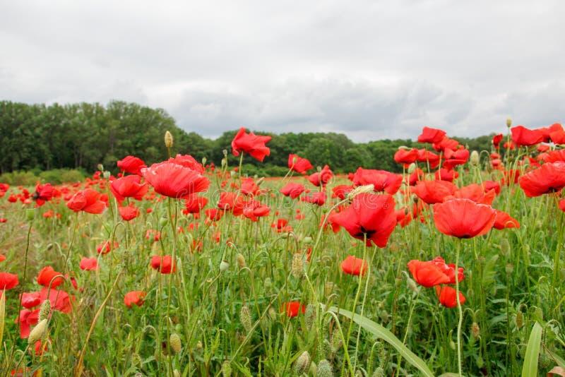 有红色鸦片的夏天草甸 库存照片