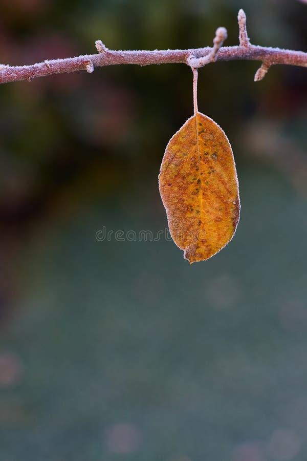 有结霜的前片黄色叶子的冻苹果树枝杈 库存图片