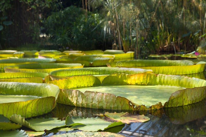 有维多利亚Regia叶子的雨林 免版税图库摄影