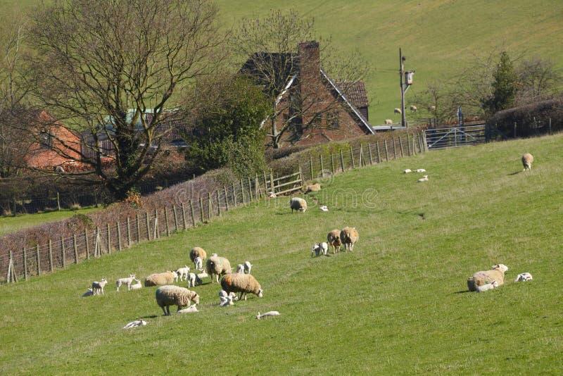 有绵羊的农业农场 免版税库存图片