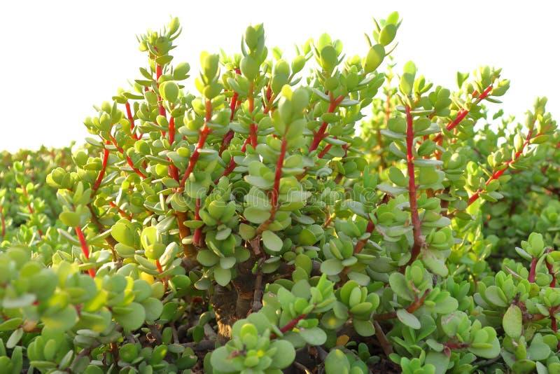 有绿色叶子和红色分支的植物 图库摄影
