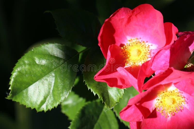 有绿色叶子的桃红色罗斯在黑暗的背景 免版税库存图片