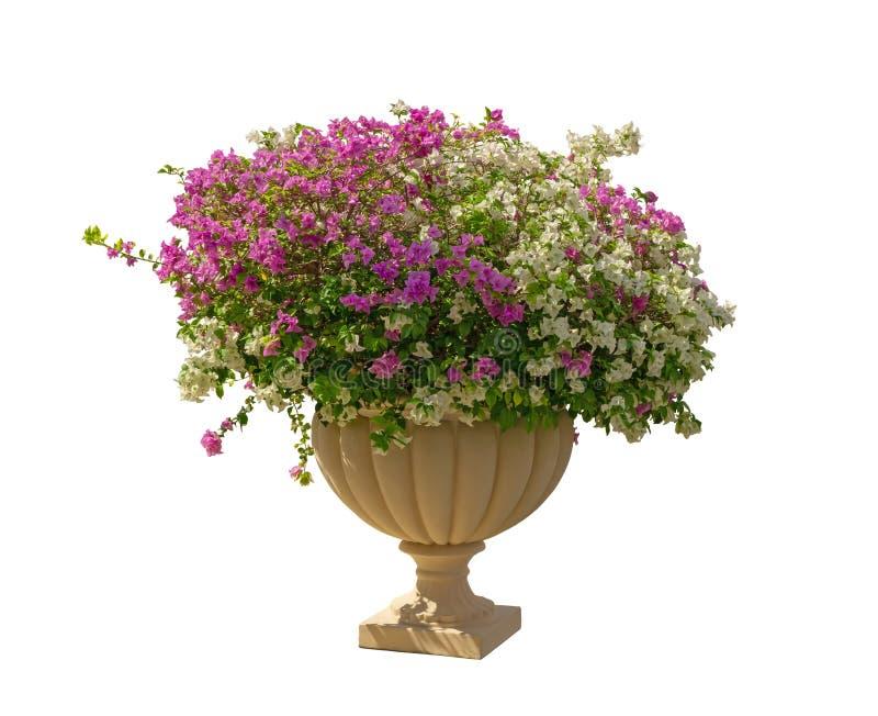 有绿色叶子的美丽的紫色和白色Bougianvillea瓣在白色背景隔绝的奶油色罗马形状瓦器 免版税库存图片