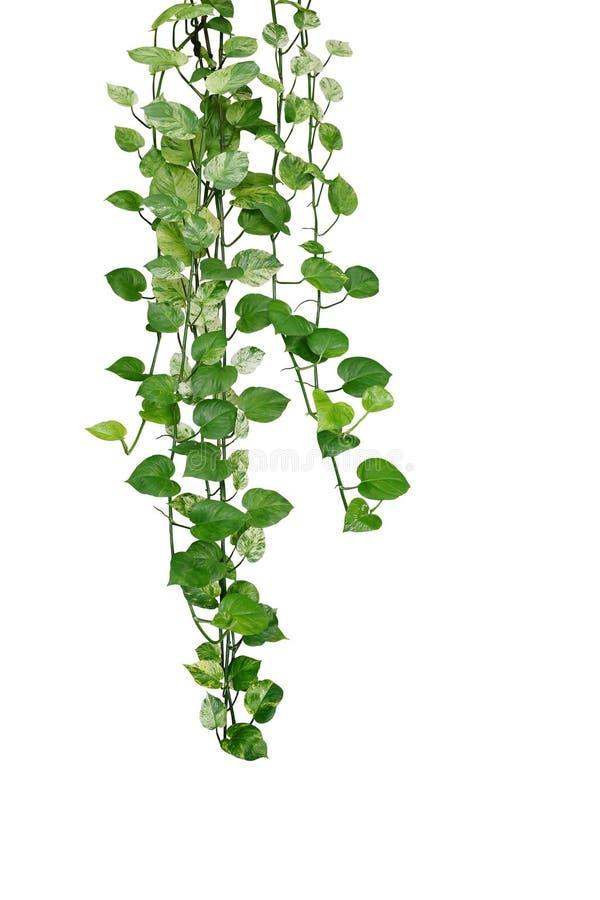 有绿色和杂色的叶子常绿藤本植物aureum的'大理石女王Pothos'垂悬的pothos或恶魔的常春藤藤藤本植物植物, 库存照片