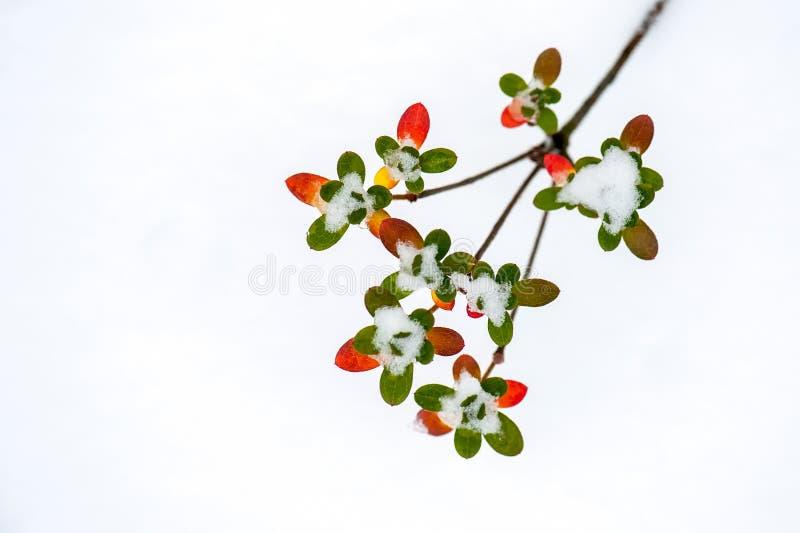 有绿色和红色小叶子的枝杈 免版税库存照片