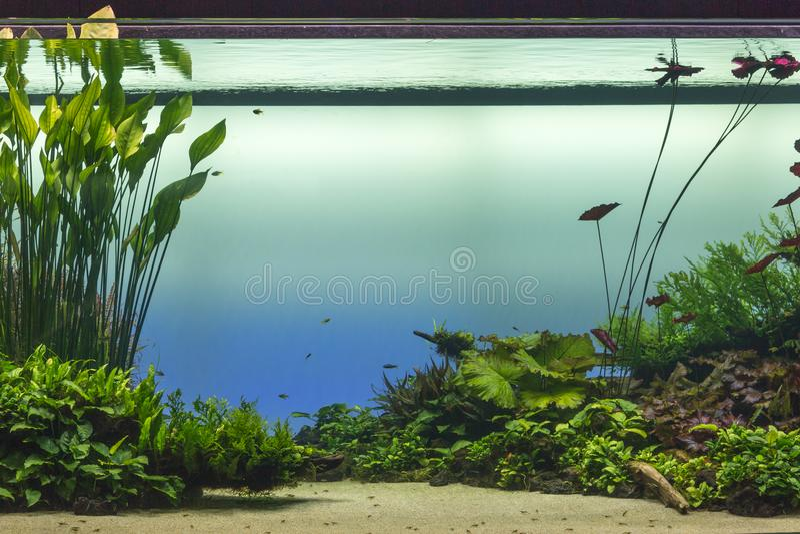 有绿色植物和Fis的美丽的热带淡水水族馆 免版税库存照片