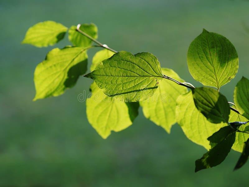 有绿色leafes的枝杈,由后照由太阳 库存图片