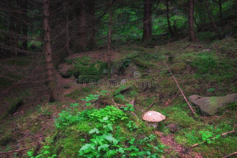 有绿草的神秘的高山冷杉森林和可爱的牛肝菌蕈类采蘑菇 库存照片