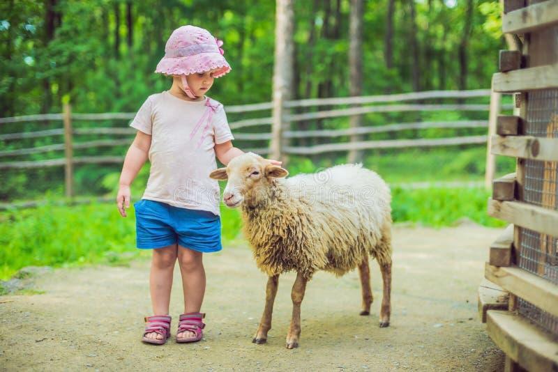 有羊羔的小女孩在农场 库存照片