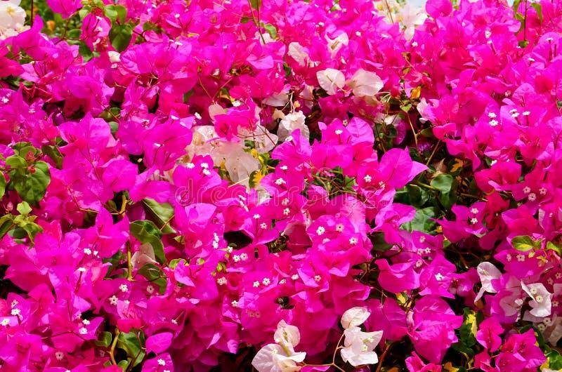有美丽的桃红色和白花的开花的九重葛植物作为花卉背景 Bougainwille是棘手的ornam类  库存照片