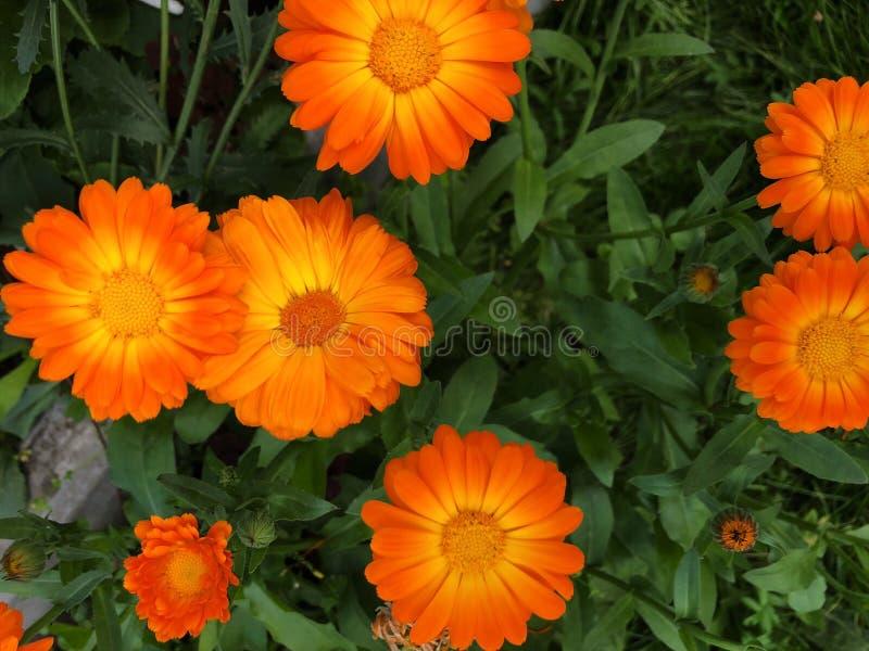 有美丽的橙色雏菊的花圃在夏天 免版税库存图片