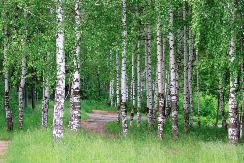 有美丽的绿色树的桦树树丛 库存图片