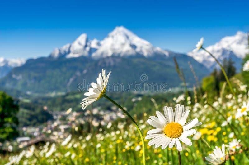 有美丽的花和瓦茨曼的春天,巴伐利亚,德国巴法力亚阿尔卑斯 免版税库存图片