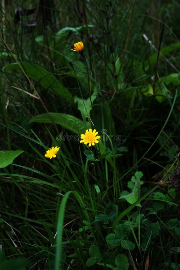 有美丽的黄色花 乌克兰 在森林里 库存图片