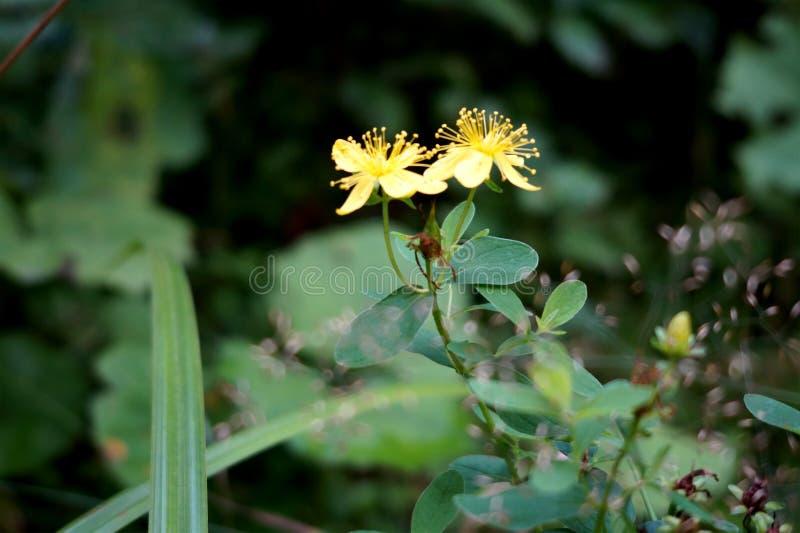 有美丽的黄色花 乌克兰 在森林里 图库摄影