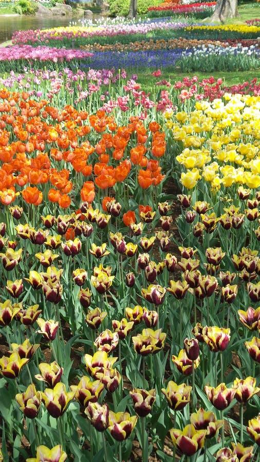 有美好的接合颜色的郁金香庭院 免版税库存照片