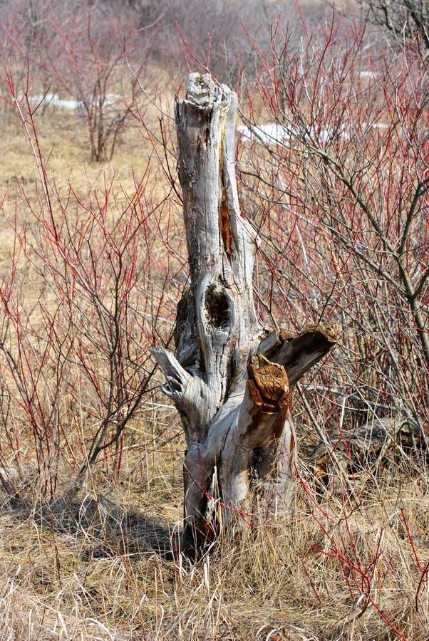 有老干燥苹果树树桩的草甸与凹陷 免版税库存照片