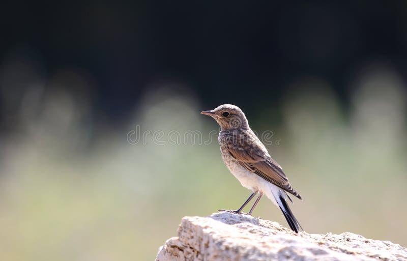 黑有耳的麦翁之类的鸣禽 库存图片