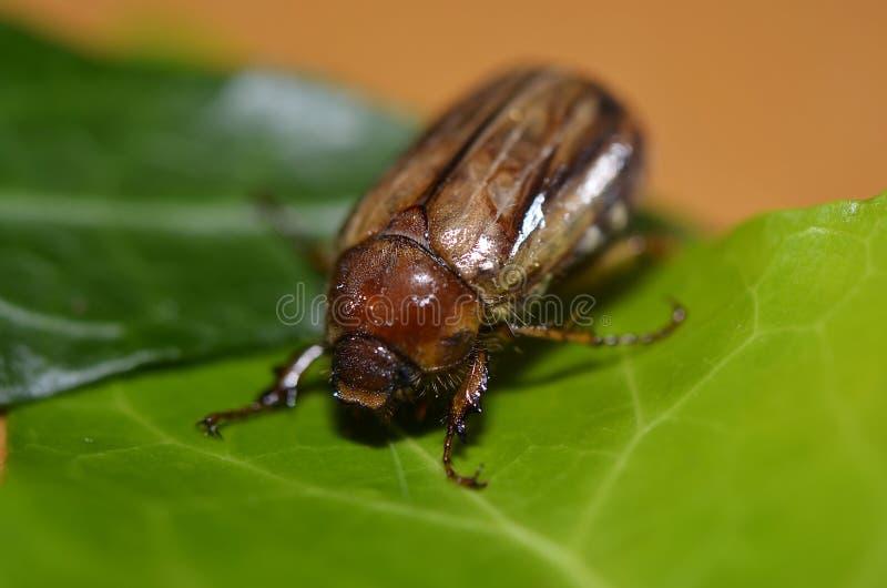 有肋骨甲虫Brach - Junikäfer 库存照片