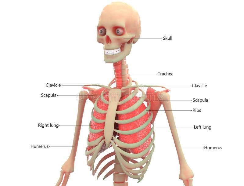 有肺解剖学的人的骨骼 库存例证