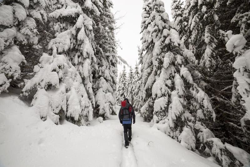 有背包的旅游徒步旅行者走在白色干净的深雪的后面观点的在明亮的冷淡的冬日在有高的山森林里 免版税库存图片