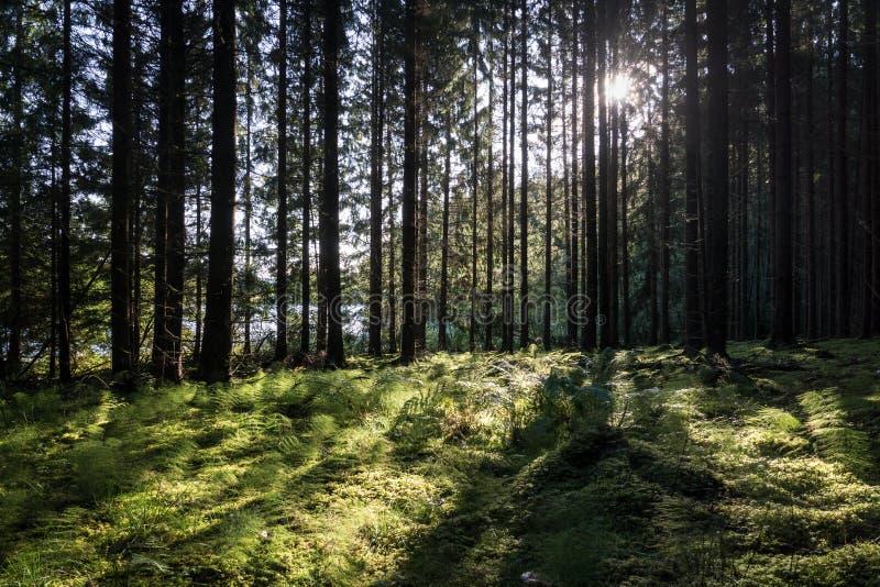 有背后照明的森林从发光通过分支的太阳 库存图片