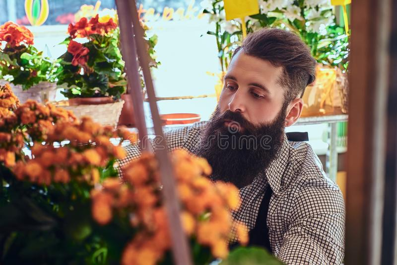 有胡子的专业男性在他的手佩带的制服的卖花人和纹身花刺照料在现代花店的花 库存图片