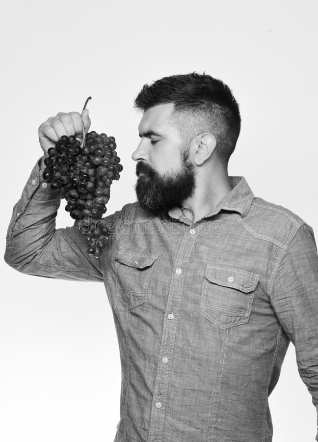 有胡子的人拿着在白色背景隔绝的束黑葡萄 农夫显示他的收获种葡萄并酿酒的人与 库存照片