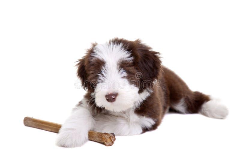 有胡子的大牧羊犬小狗 免版税图库摄影